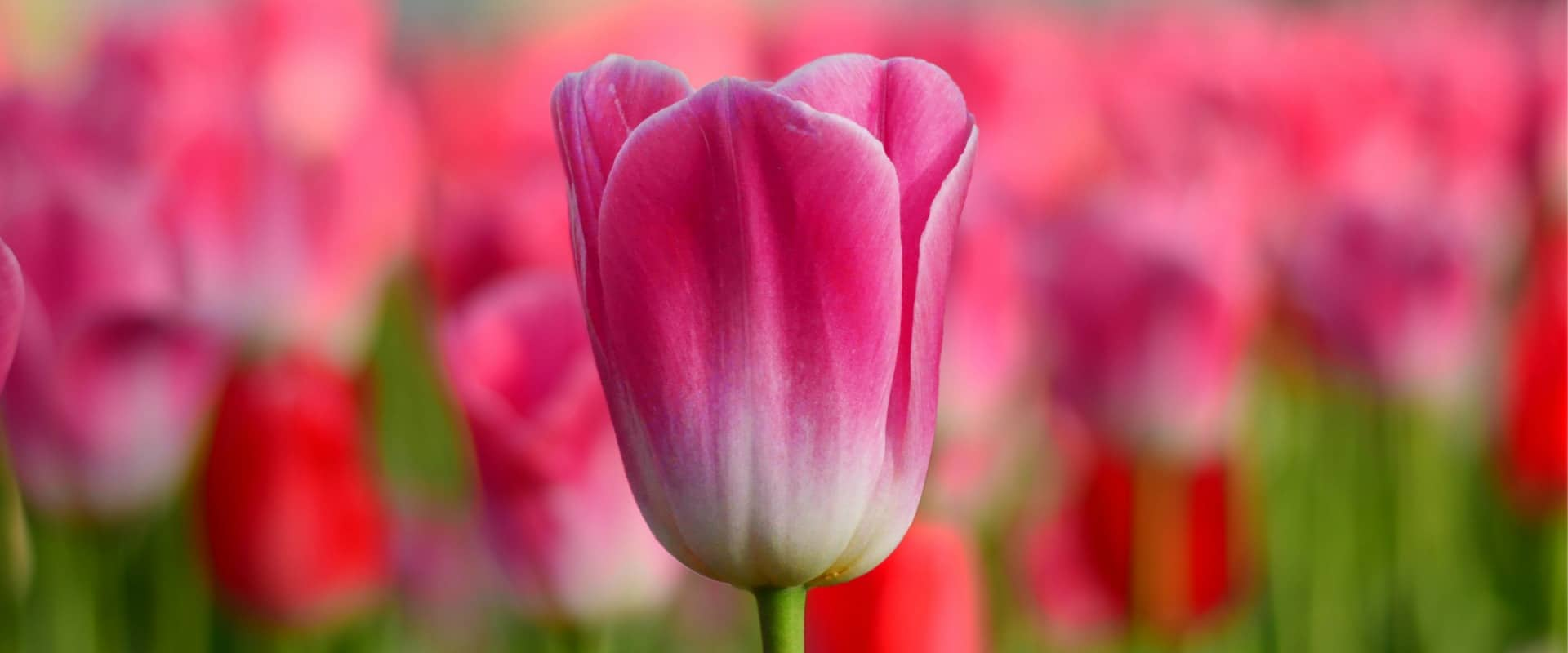 What is a tulip?