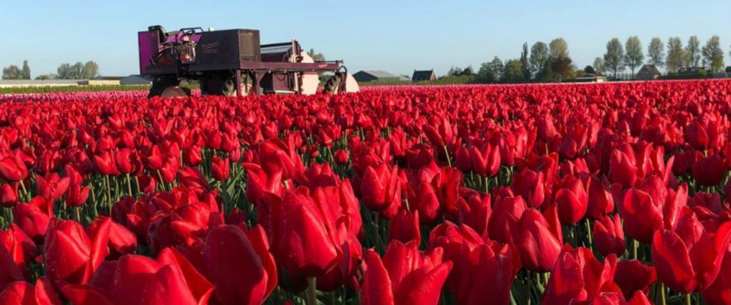 Beautiful red tulip field at Tulip Tours Holland Venhuizen