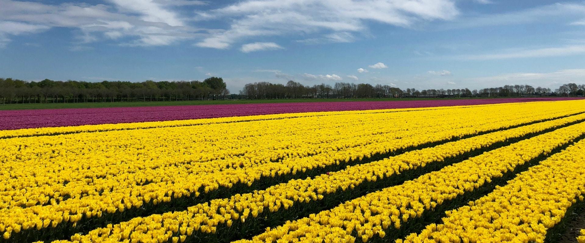 Sea of color at Tulip Tours Holland Venhuizen