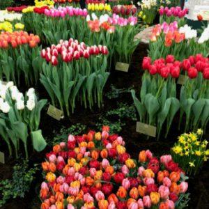 Book your winter tulip tour at Tulip Tours Holland in Venhuizen, visit the farm