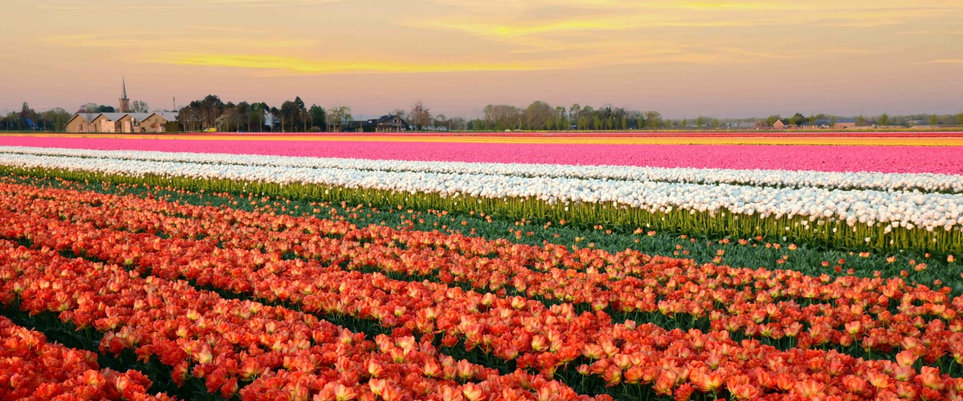 A beautiful sunset view over the tulip fields Venhuizen Holland