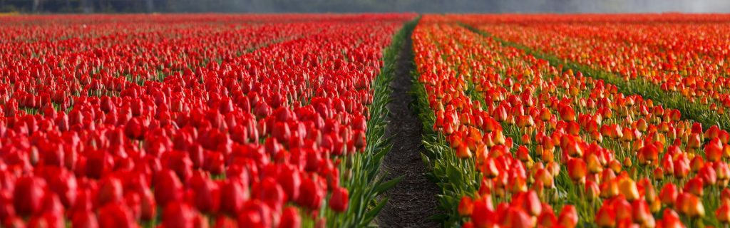 Red Tulip field in the morning Tulip Tours Holland in Venhuizen