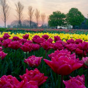 View All Tulip Tours
