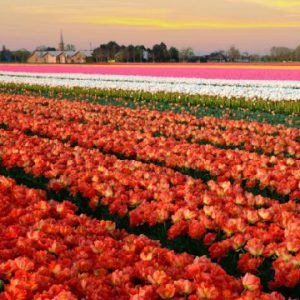 View all our Tulip Tours