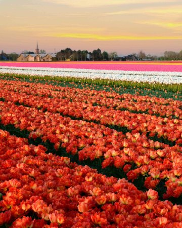 Tulip Group Tour from Amsterdam A beautiful sunset view over the tulip fields Venhuizen Holland