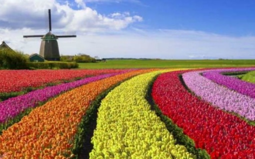 Many different colors at the tulip farm Tulip Tours Holland